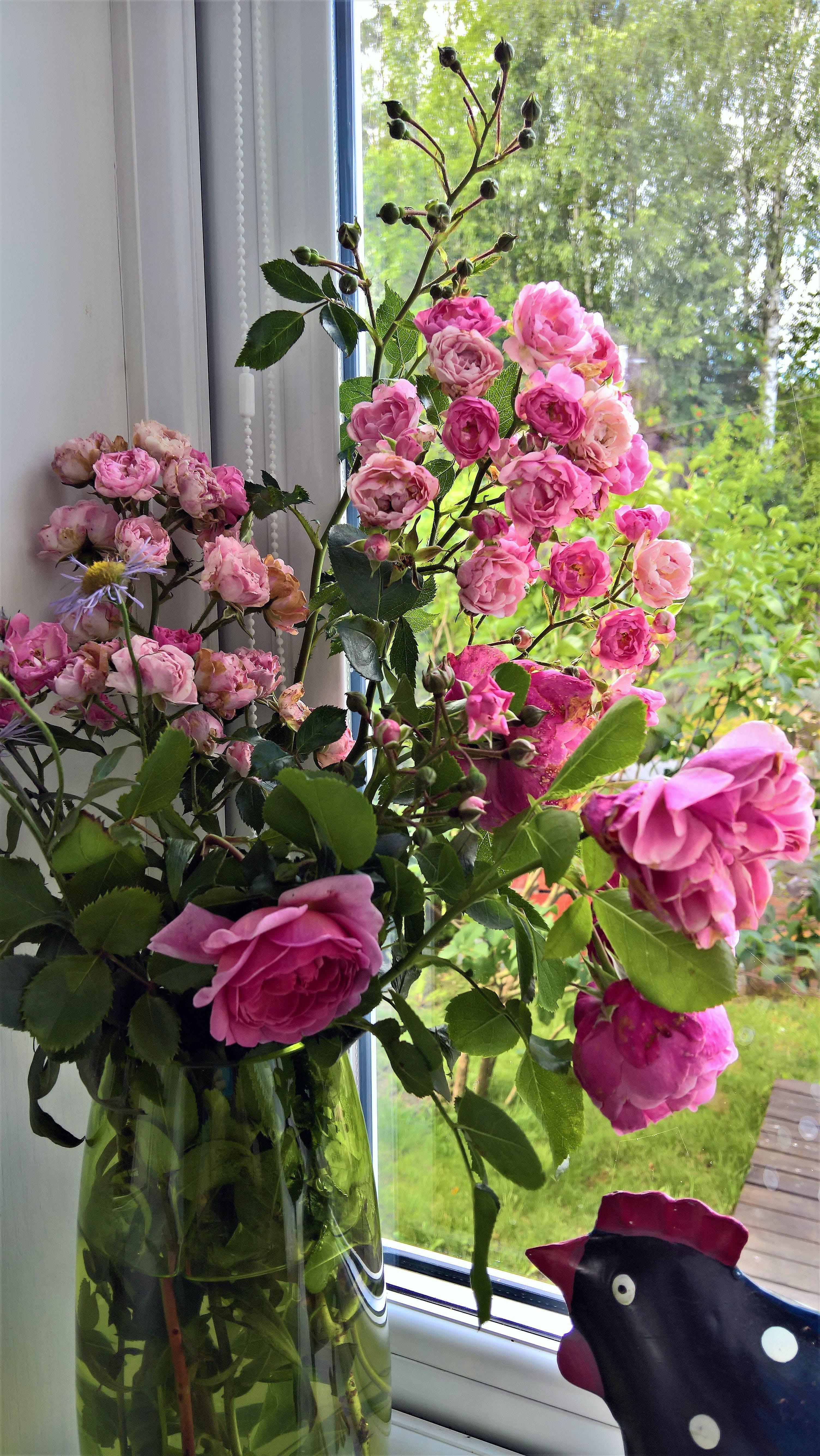 Free stock photo of pink roses, rose, rose vase, roses