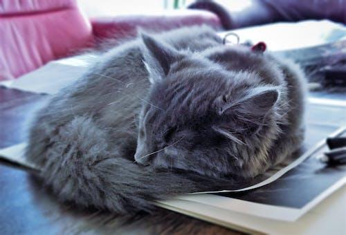Free stock photo of cat, pet, sleeping