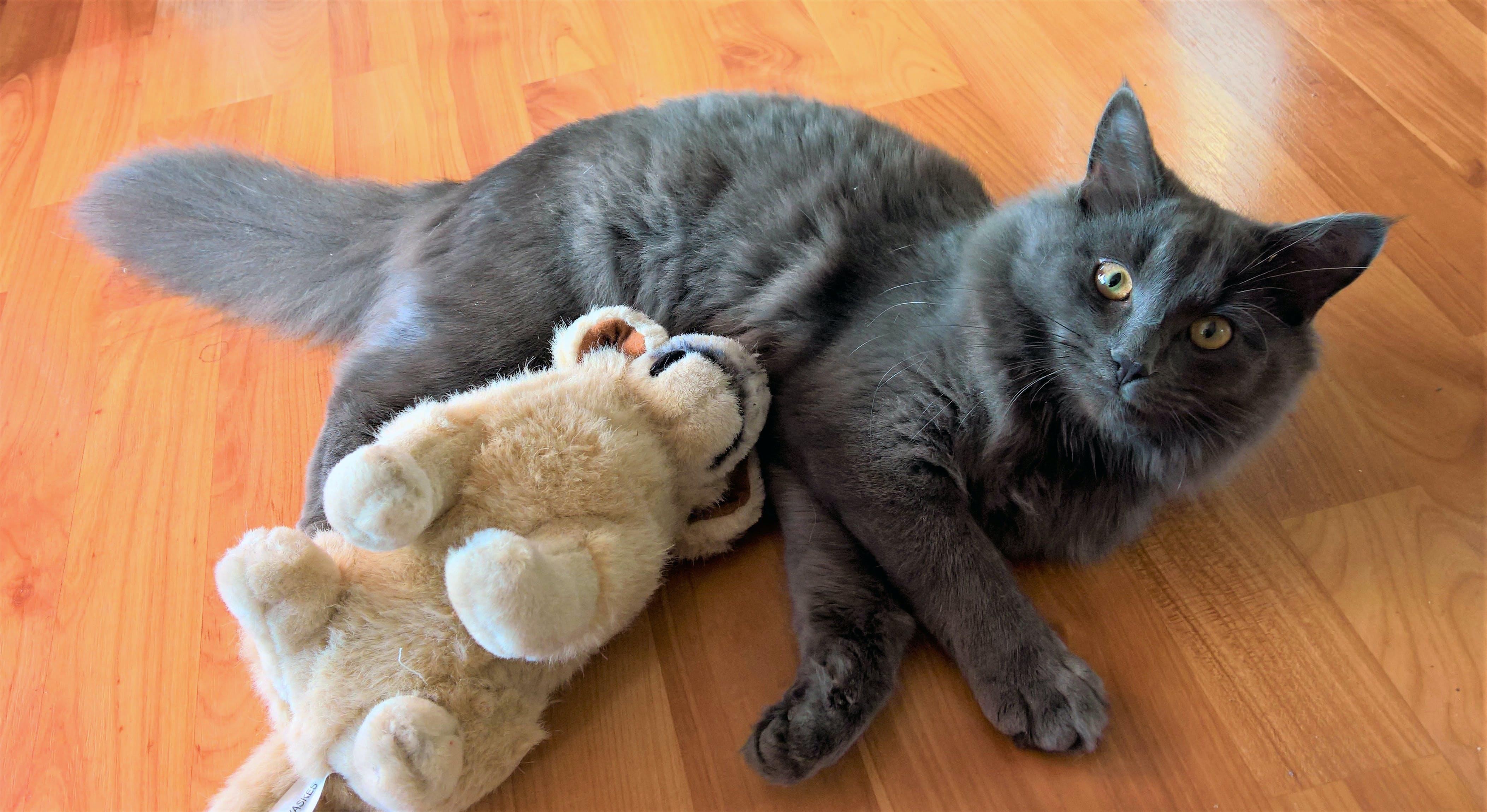 Free stock photo of cat, fluffy, fluffy cat, gray cat