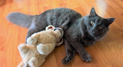 Бесплатное стоковое фото с кошка, питомец, пушистый, пушистый кот