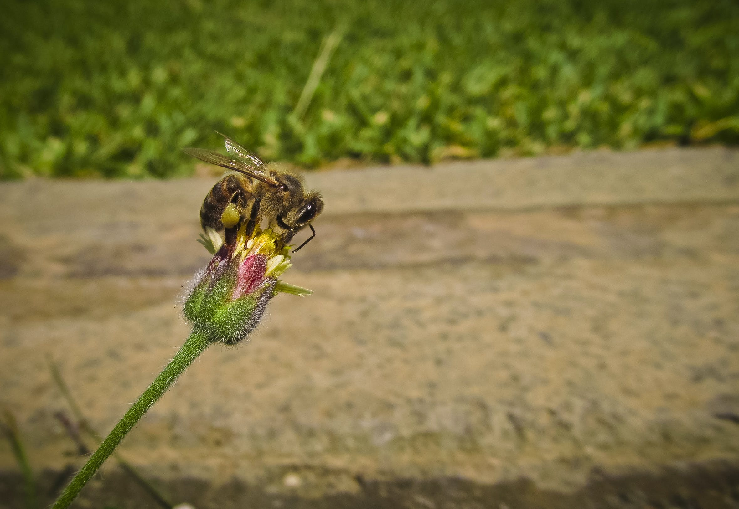 Bee on Pin and Green Flower