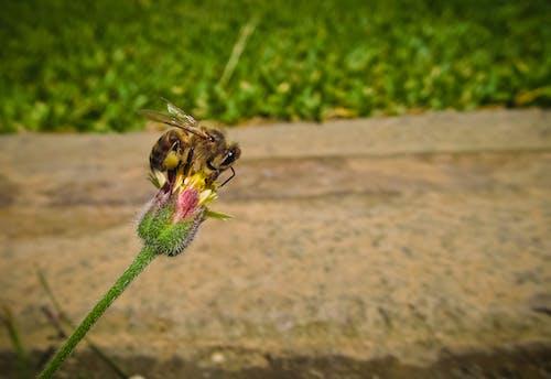 Immagine gratuita di ape, bocciolo di fiore, fiore, insetto