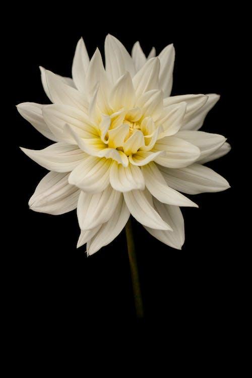คลังภาพถ่ายฟรี ของ กลีบดอก, กลีบดอกไม้, ก้านดอก