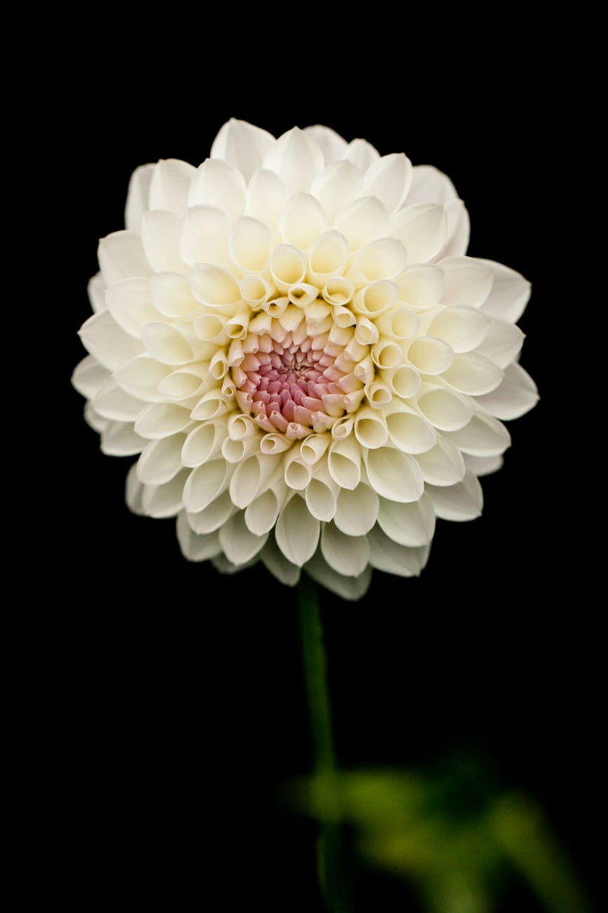 Dahlias | 63 Amazing Pest And Insect Repellent For Plants You Should Know