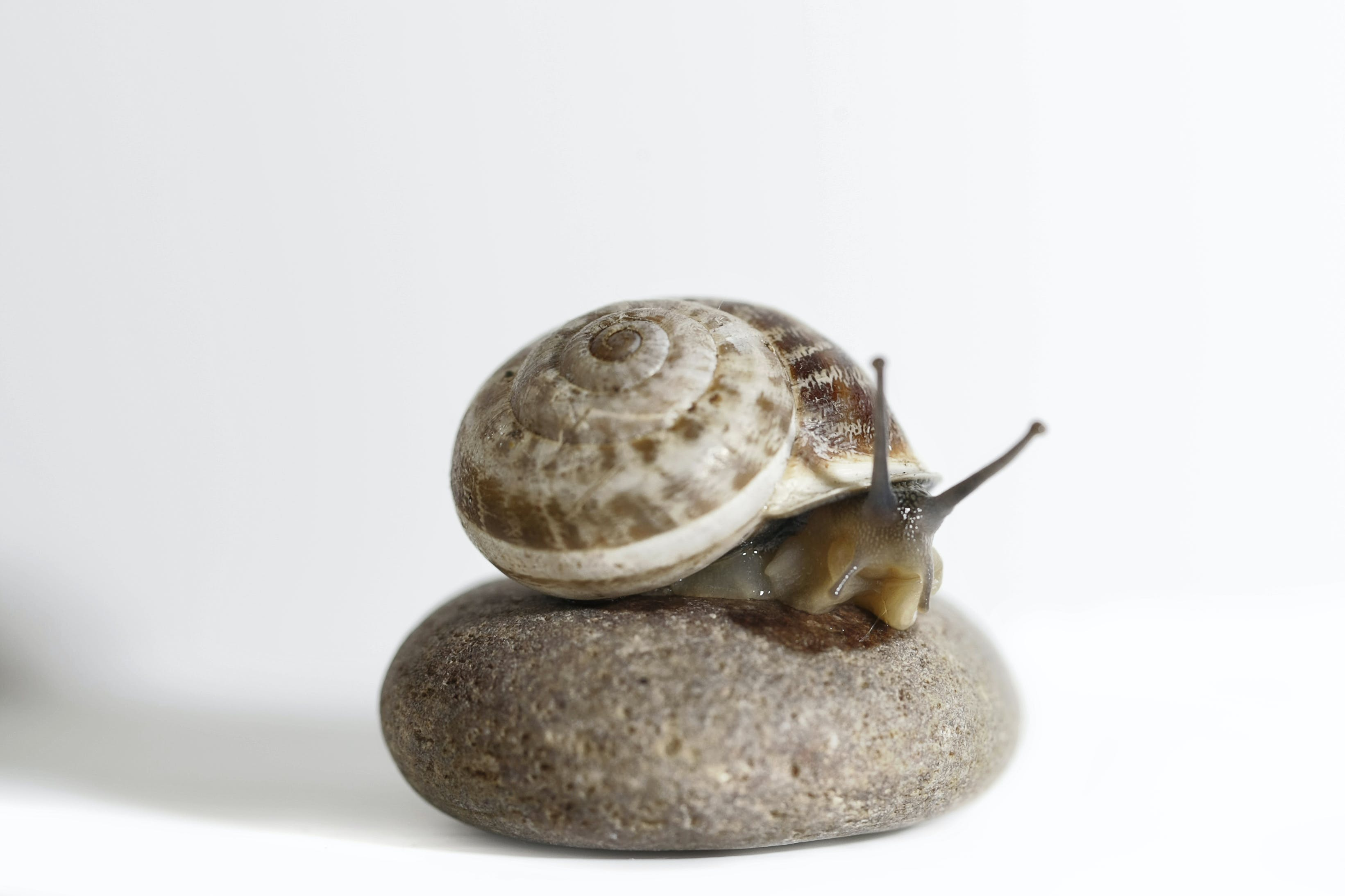 Brow Snail on Stone