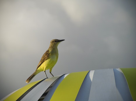 Free stock photo of bird, cloudy, yellow, animal