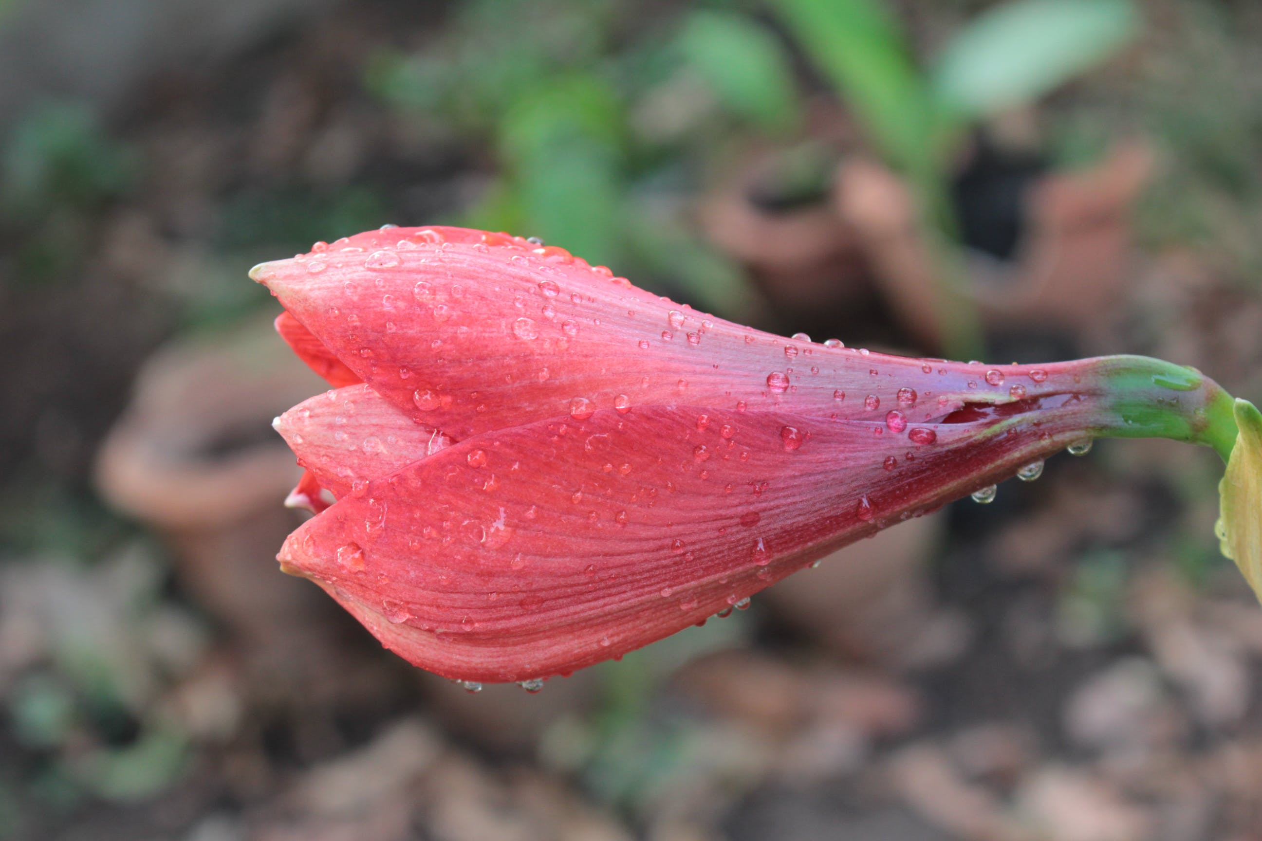 Selective Focus Photography Of Pink Flower With Water Dew