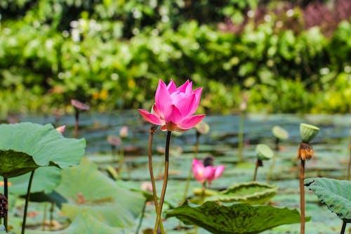 Foto d'estoc gratuïta de flueix, tulipa