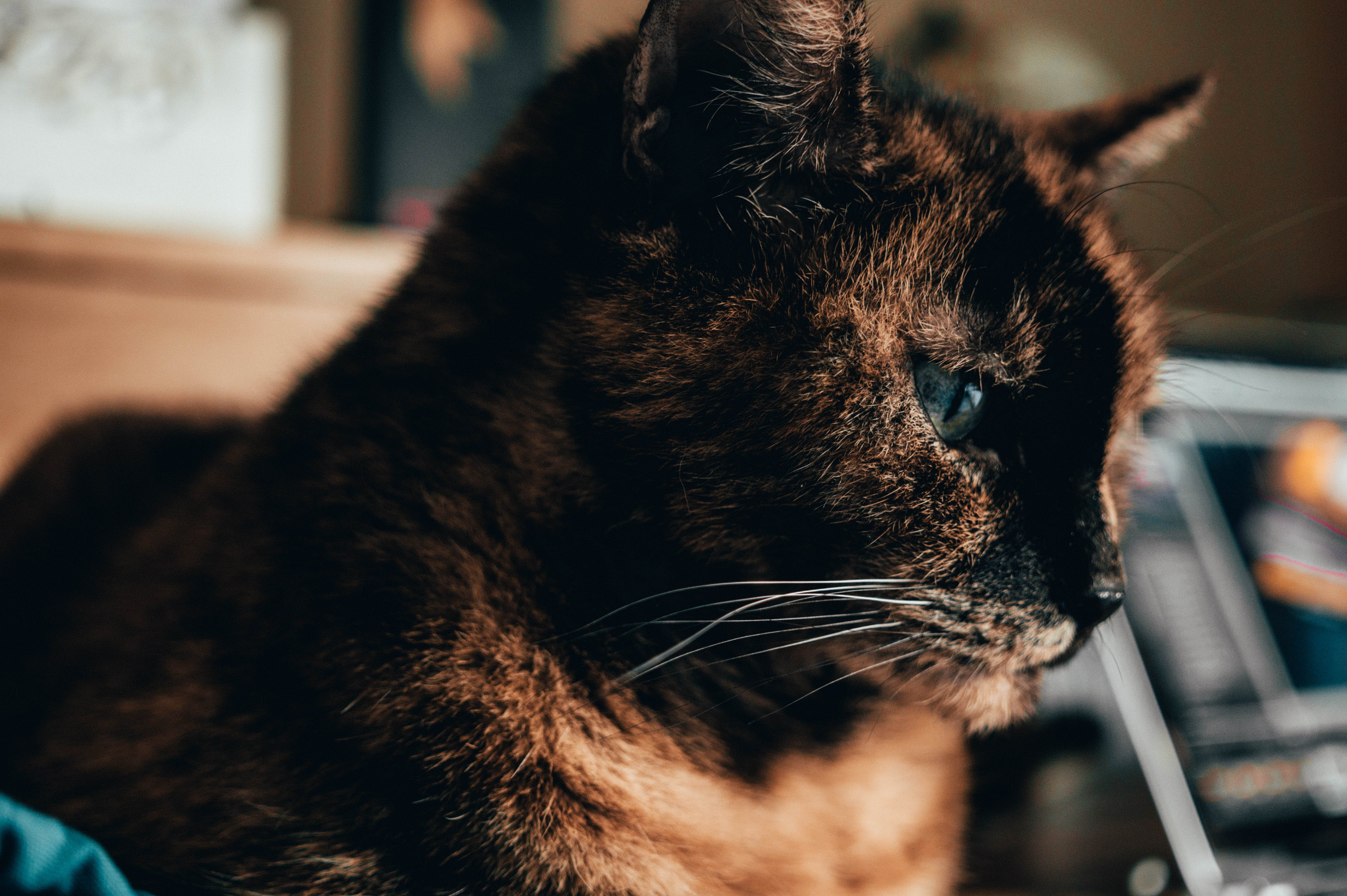 Shallow Focus of Brown Cat