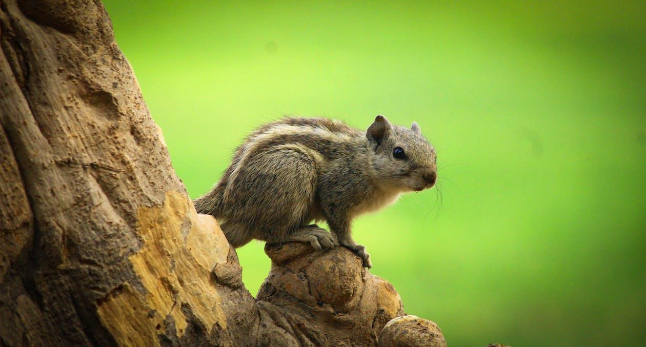 Foto d'estoc gratuïta de animal, bufó, esquirol