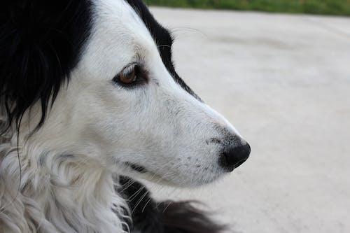Kostnadsfri bild av border collie, hund