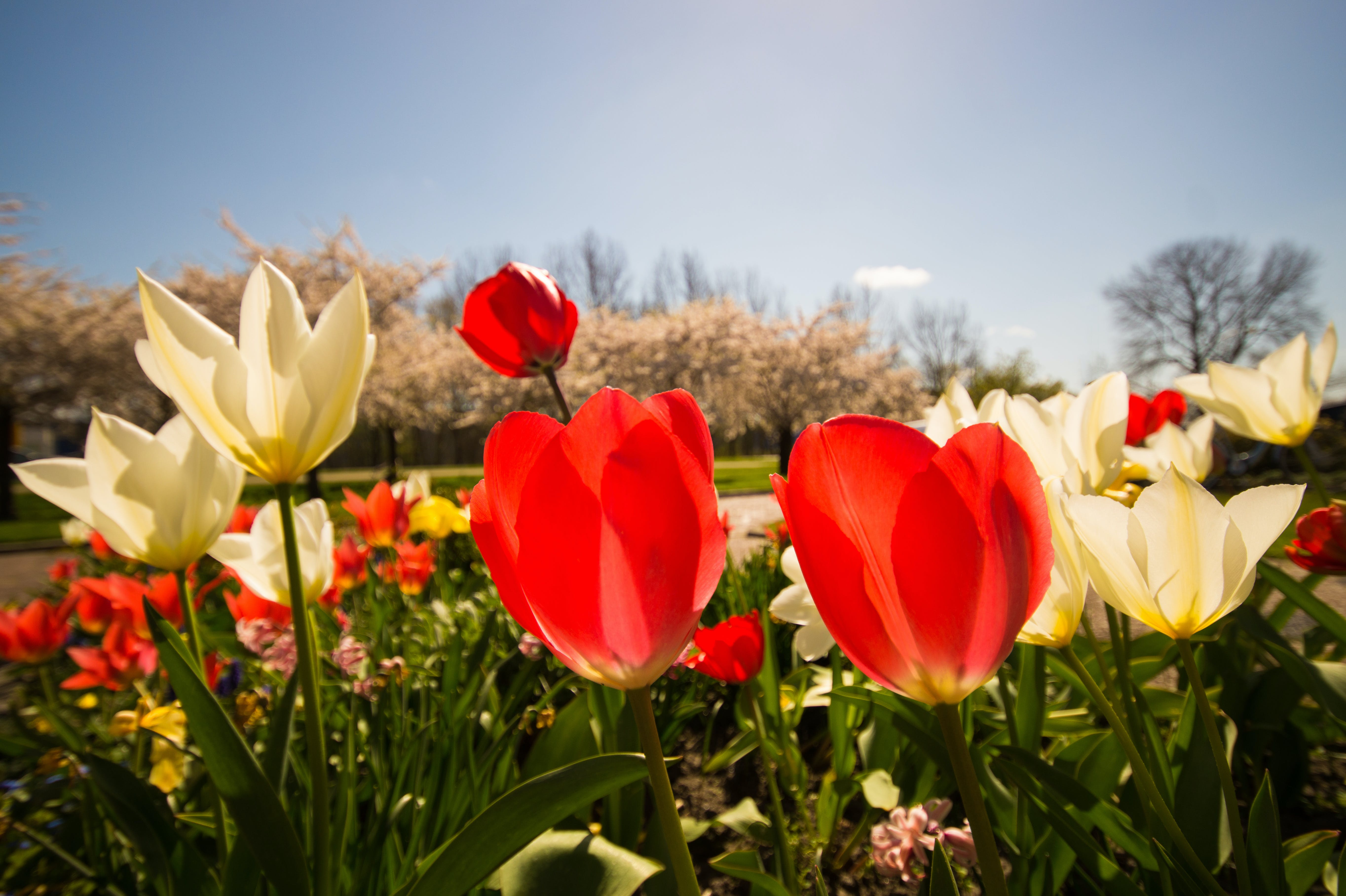 White and Red Tulips