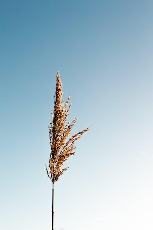 Planta De Grãos Castanhos