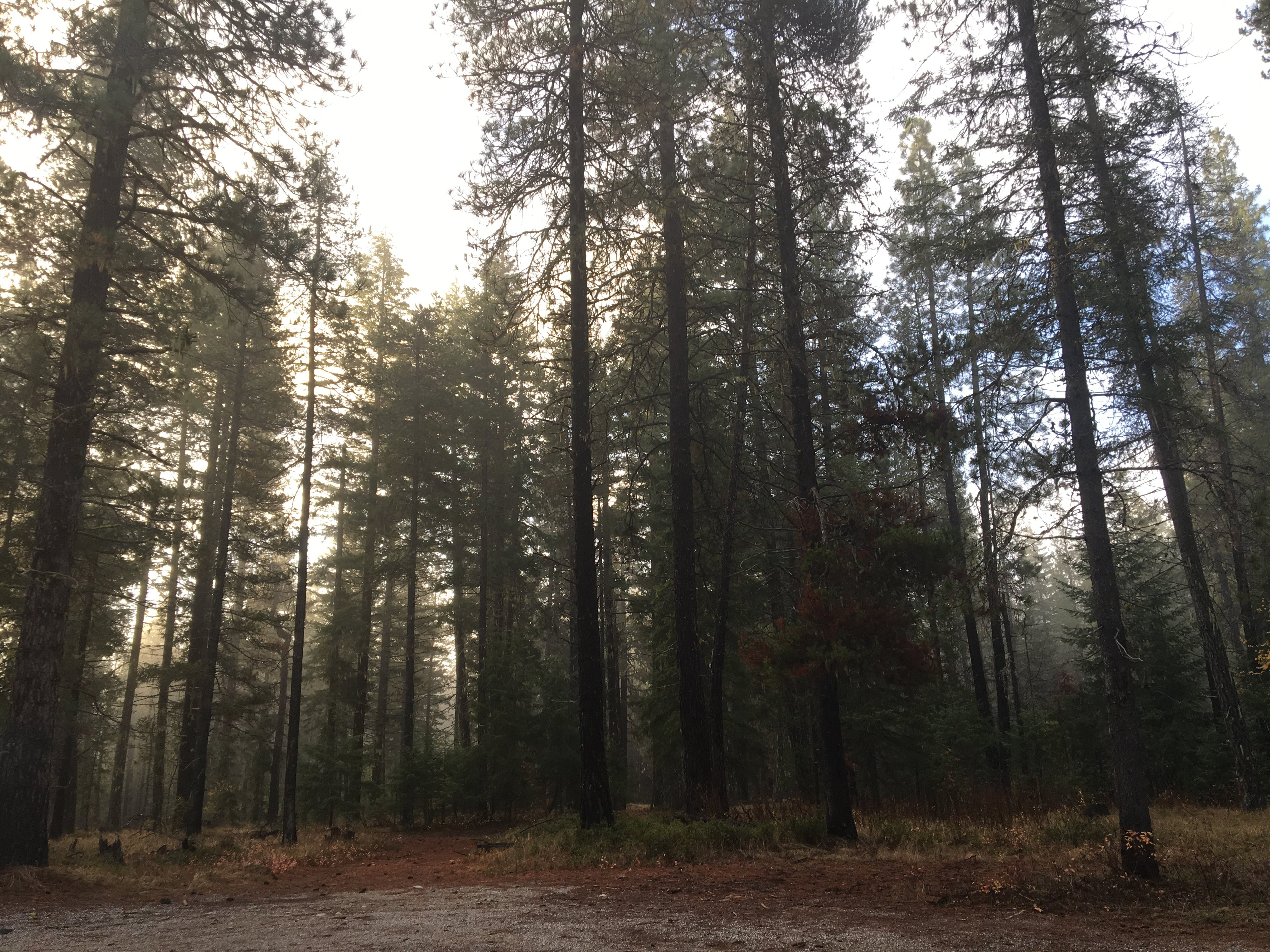 Free stock photo of forest, haze, hazy forest, pine trees
