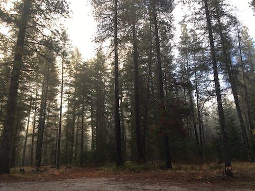 Gratis lagerfoto af fyrretræer, ponderosa fyrretræer, skov, tåge
