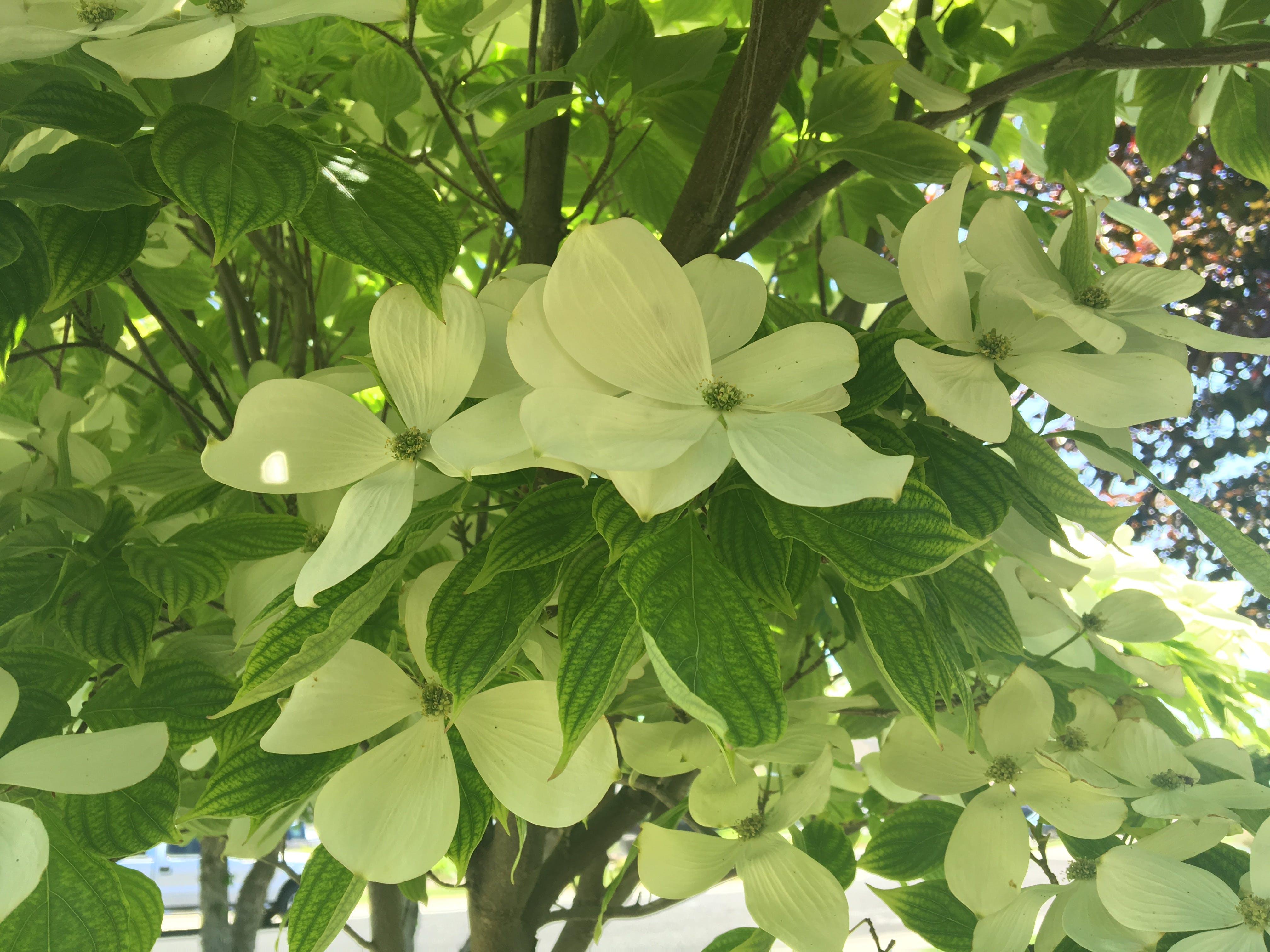 Free stock photo of flower, white flower, dogwood, tree flower