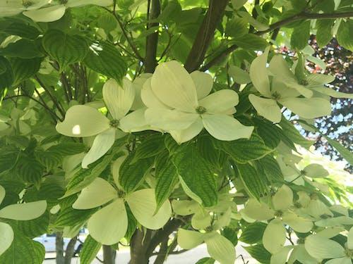 Gratis lagerfoto af blomst, dogwood blomst, hvid blomst, kornel