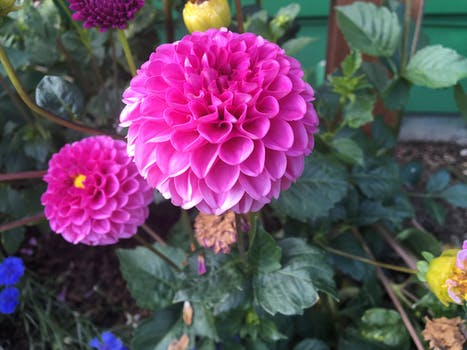 Close up photography of pink flower surrounded by leaves free pink dahlia flower mightylinksfo
