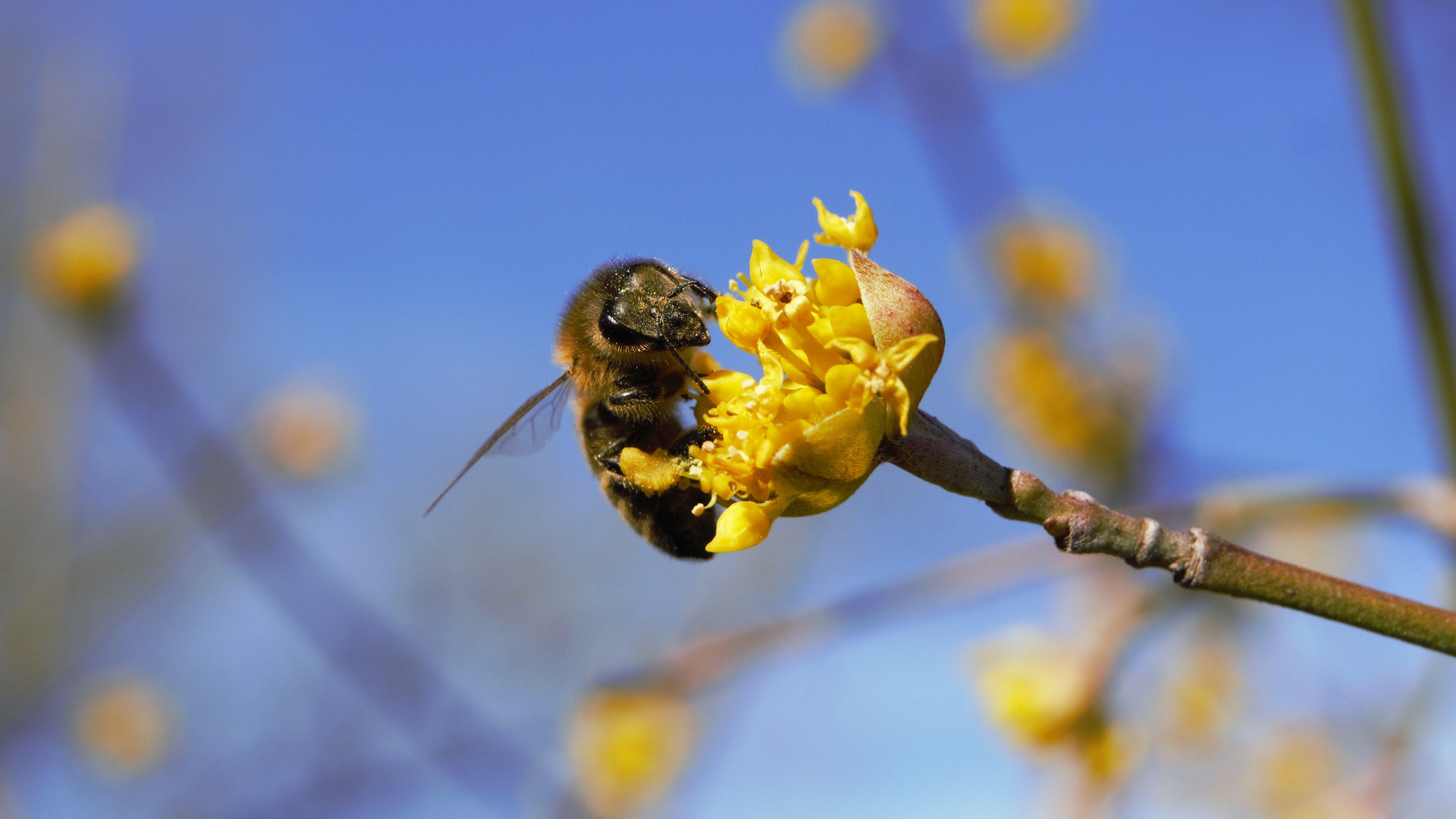Free stock photo of bee, flower, macro, spring