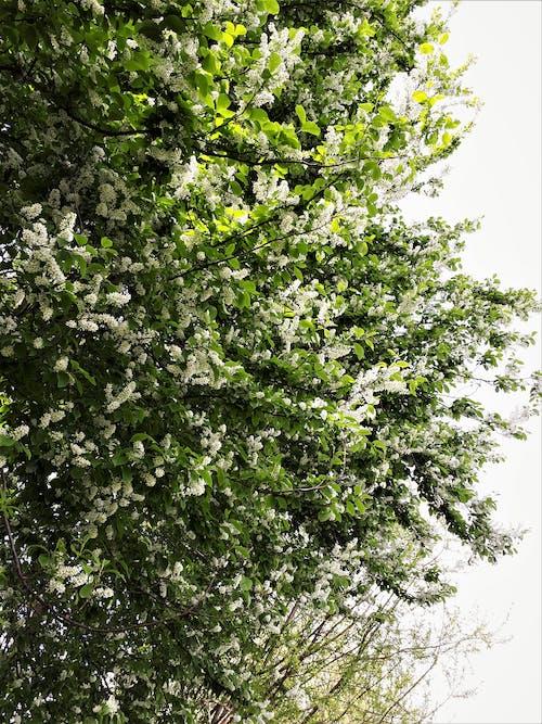 Photos gratuites de arbre en fleur, arbre en fleurs