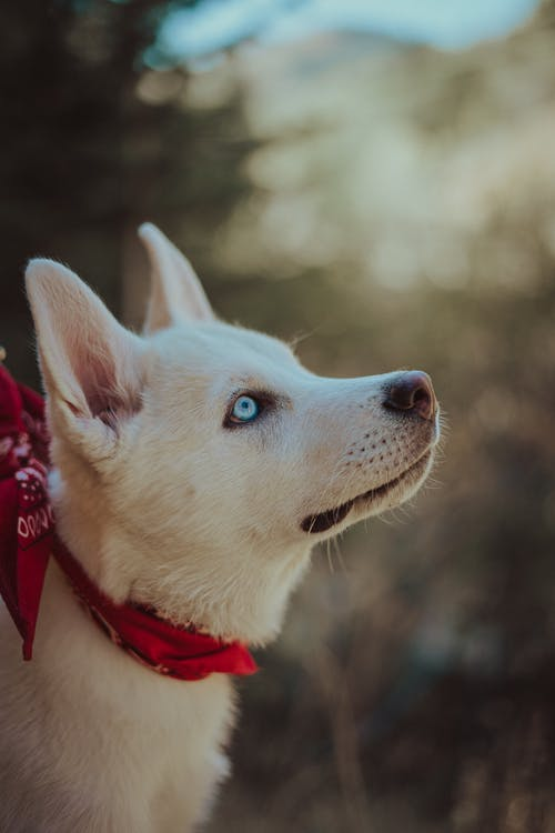White Siberian Husky With Red Scarf