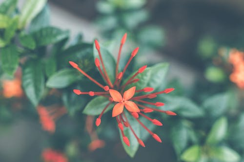 Close-Up Photography of Red Ixora Coccinea