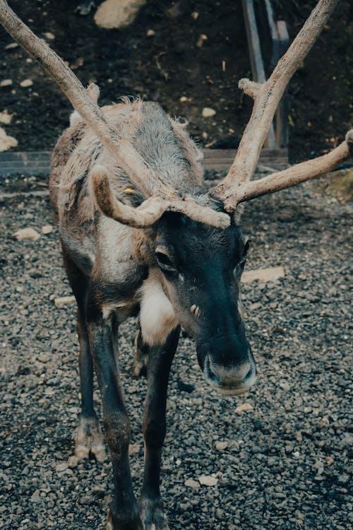 Free stock photo of animal, antler, bull