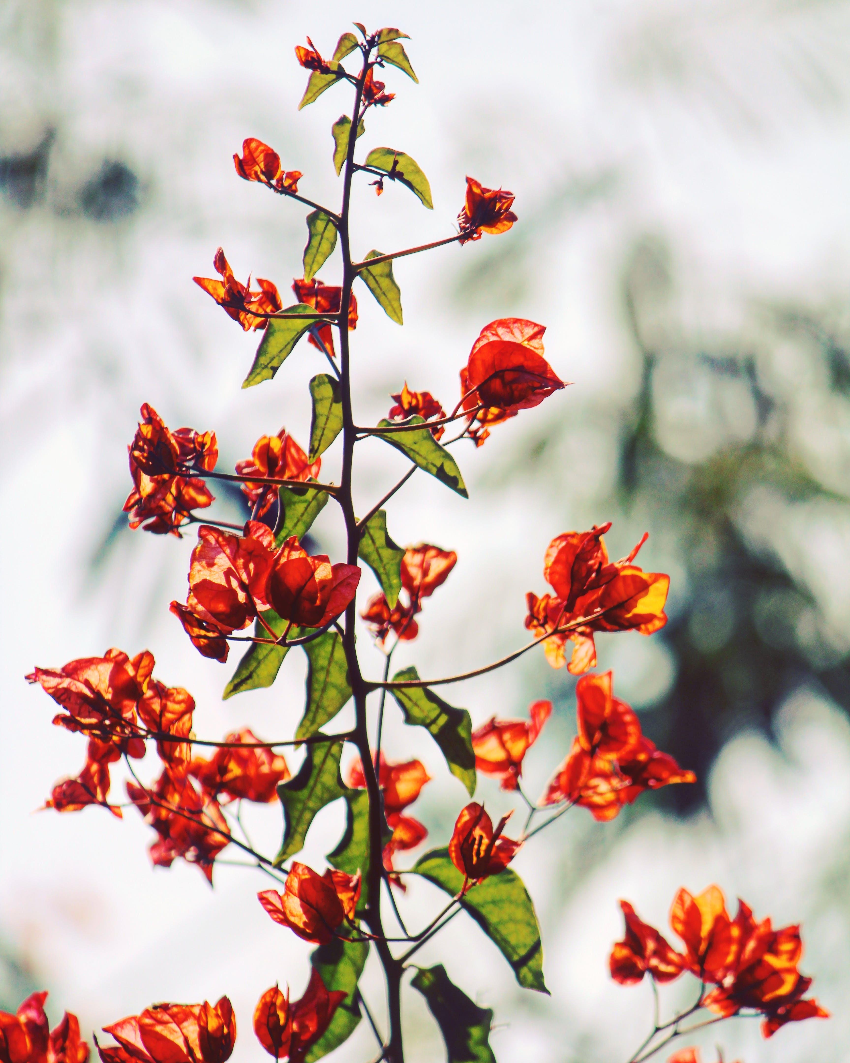 Orange Bougainvillea Flowers in Selective Focus Photography