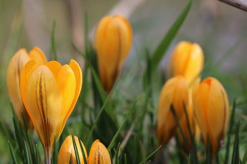 Бесплатное стоковое фото с заводы, природа, тюльпаны, флора