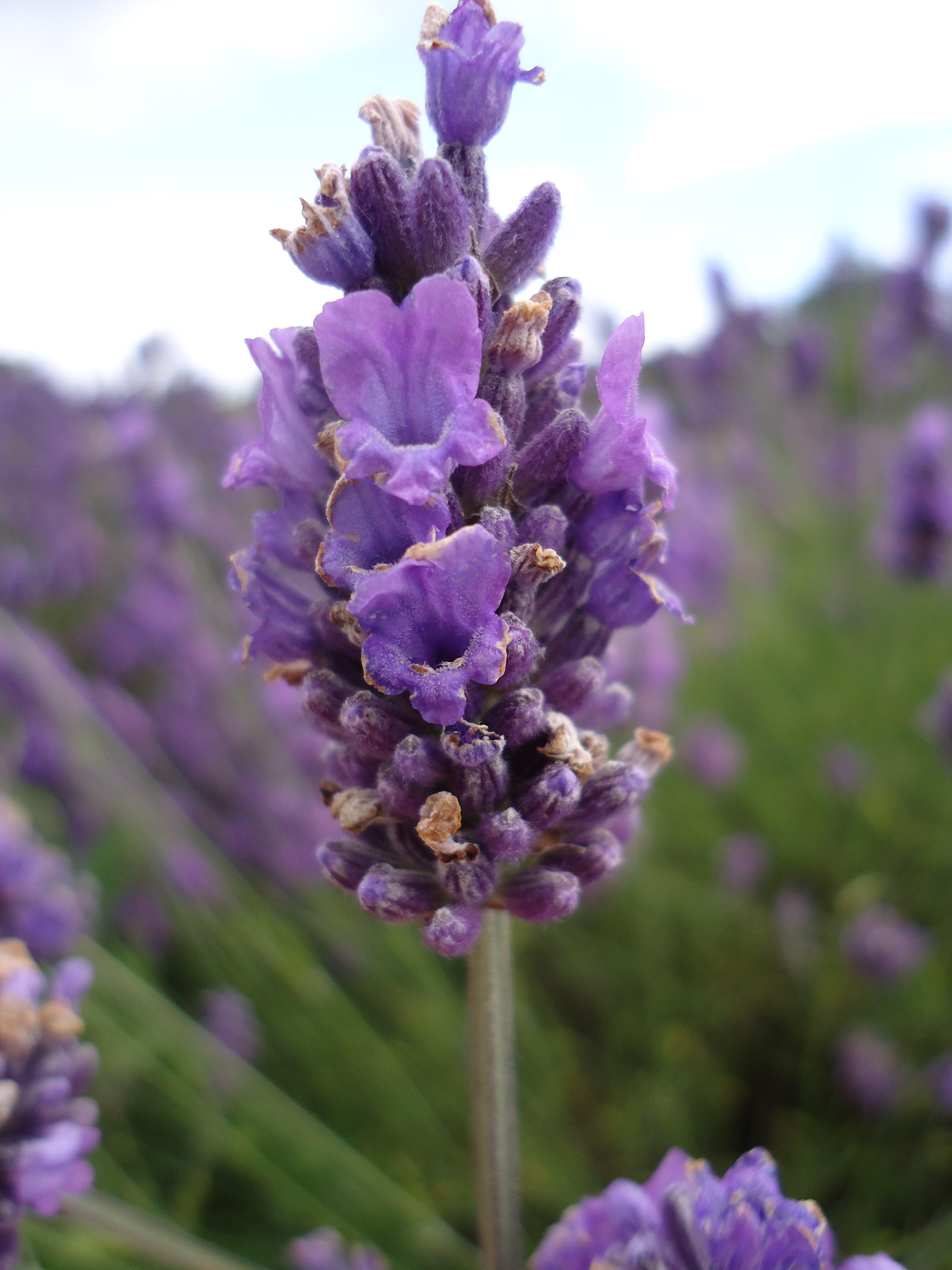 Free stock photo of lavender