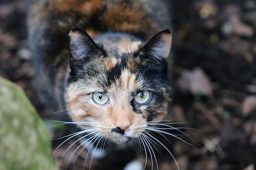 Darmowe zdjęcie z galerii z koci, kot, zbliżenie, zwierzę