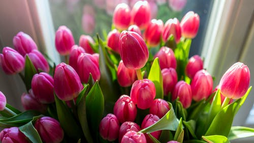 Close-up Photography of Pink Tulips
