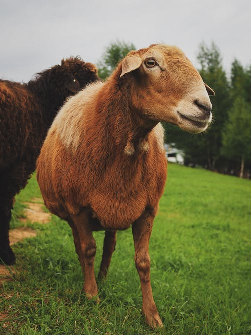 Brown Goat on Green Grass