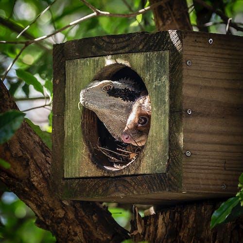 Бесплатное стоковое фото с Австралия, водный дракон, гнездо