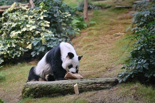 White and Black Panda on Brown Wooden Log