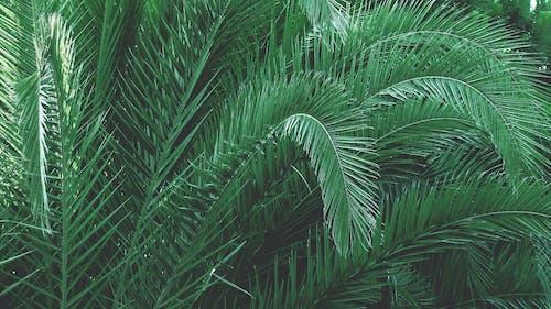Gratis lagerfoto af grøn, palme, palmetræ