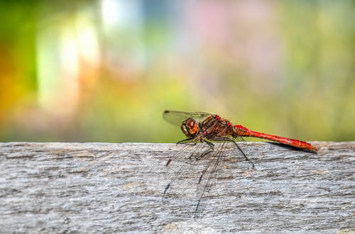 Red Dragonfly on Wood