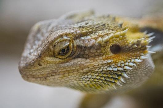 Closeup Photography of Brown Bearded Dragon