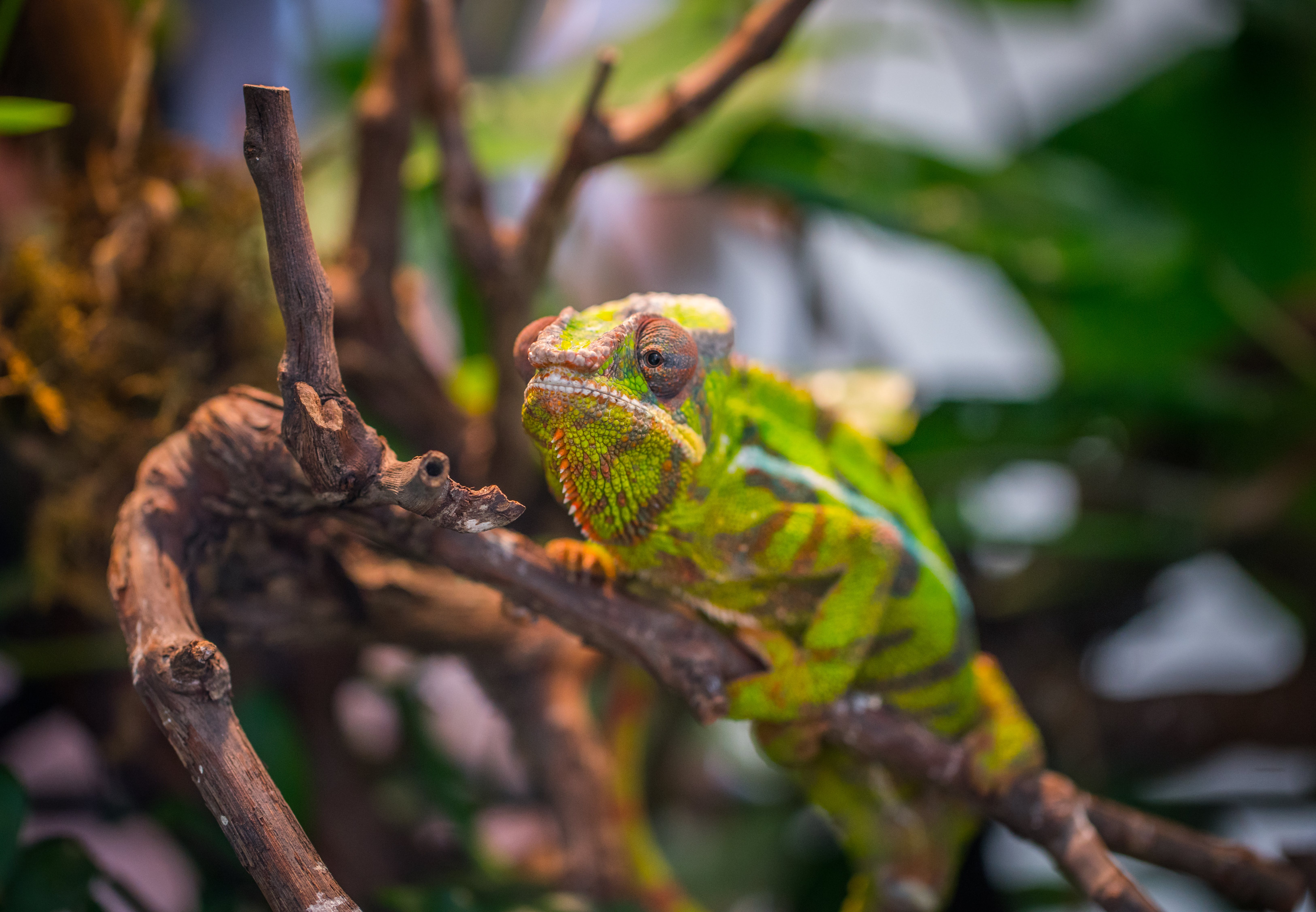 Selective Focus Photography of Green and Brown Chameleon Perched on Brown Tree Branch at Daytime