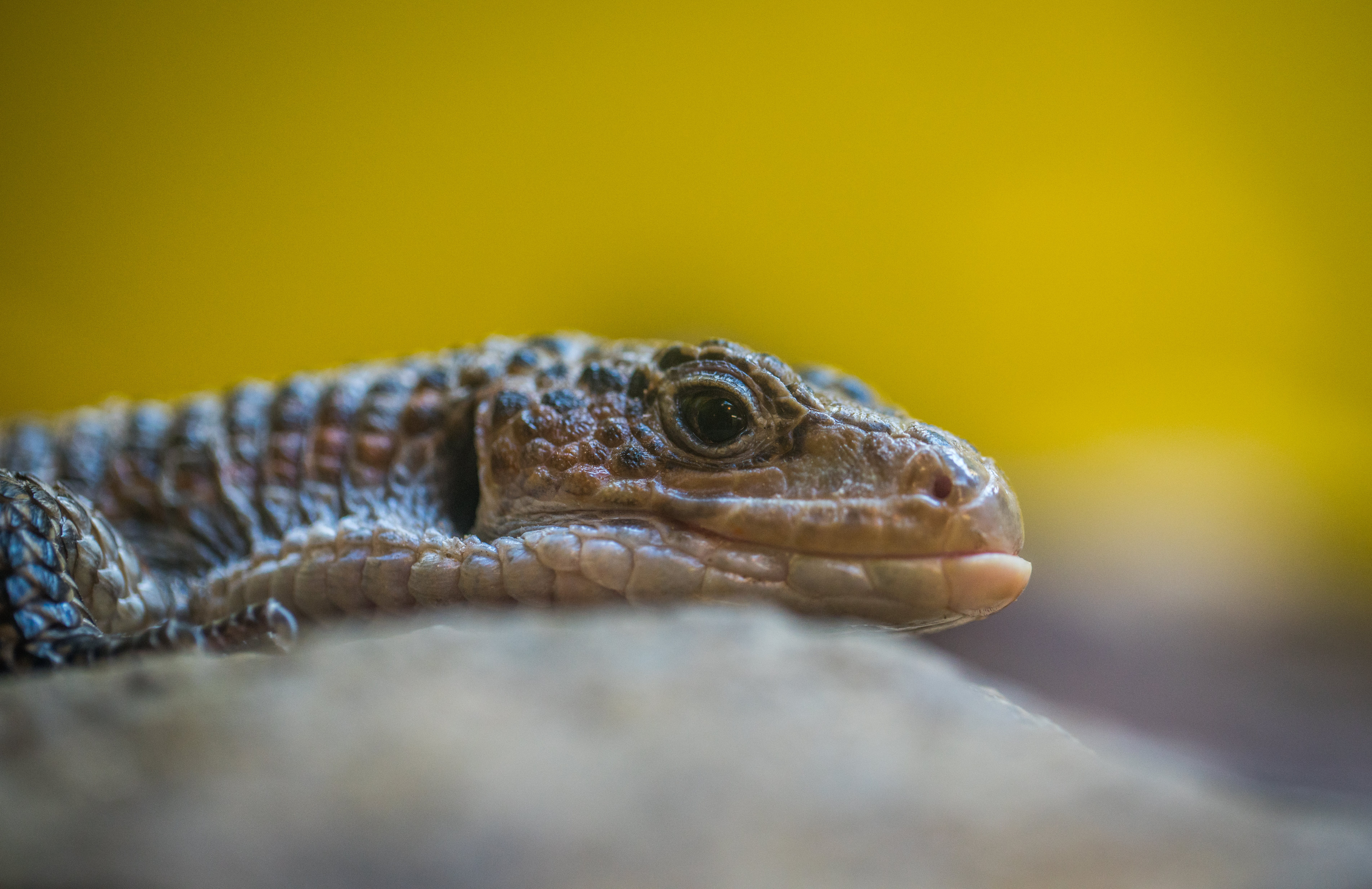 Gray Reptile Close-up Photography