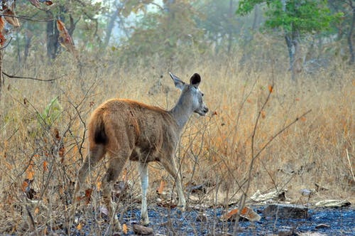 Free stock photo of sambar deer