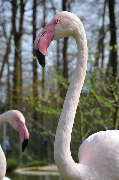 Darmowe zdjęcie z galerii z flamingo_rosa