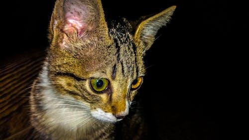 Ilmainen kuvapankkikuva tunnisteilla kissa, kissan kasvot