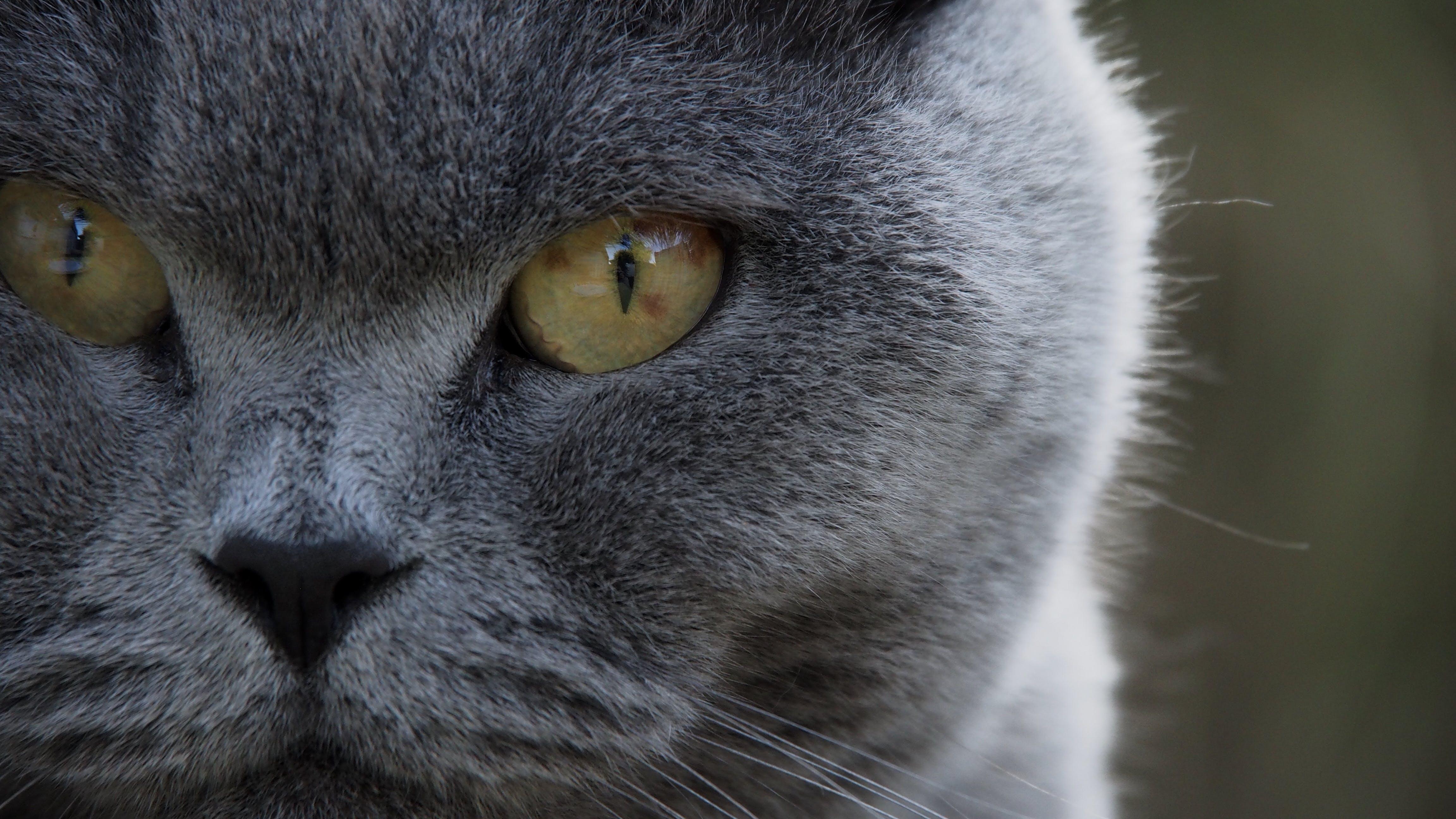 Gratis lagerfoto af grå, kat, katteansigt, katteøjne
