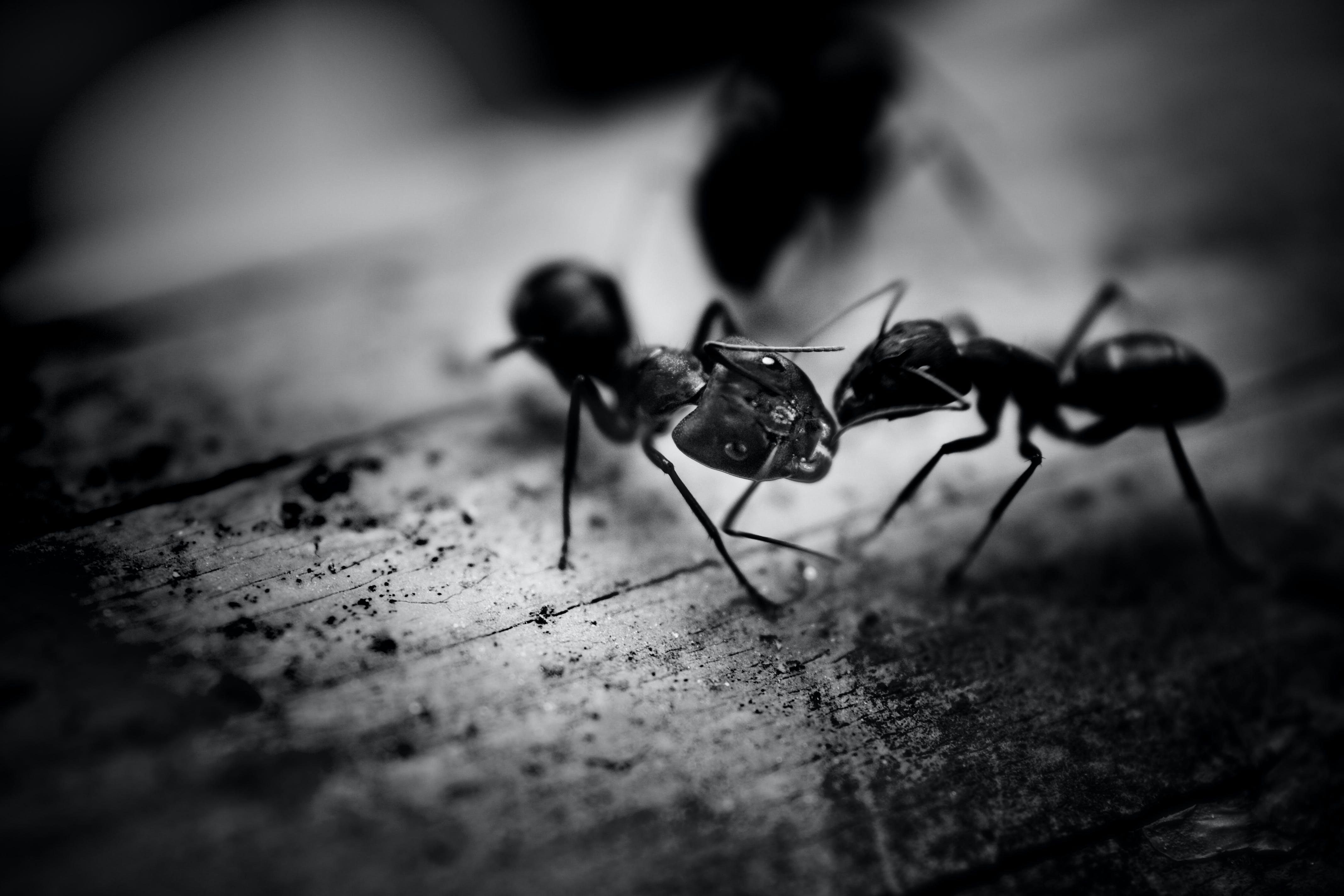 Gratis lagerfoto af insekt, myrer, sort og hvid, sort-hvid