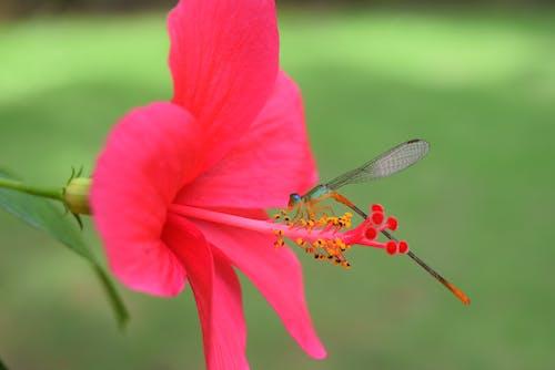Free stock photo of #damselfly #Pink #flowers
