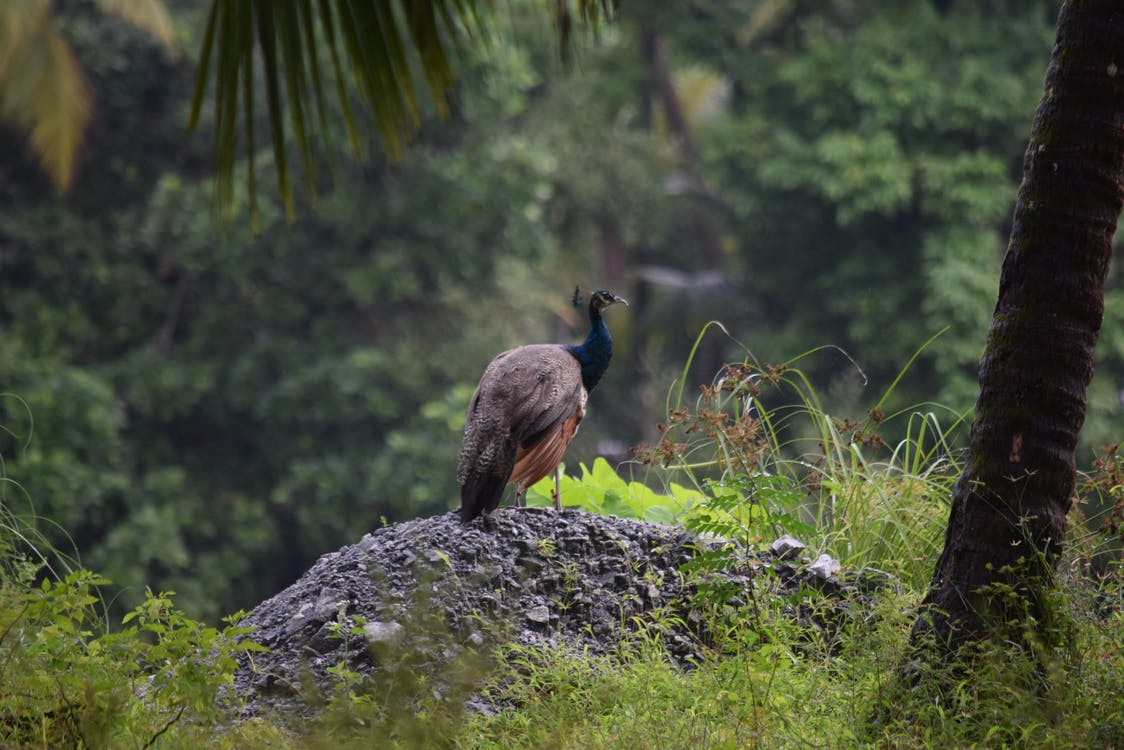 A peahen waiting to cross the river #peahen #india