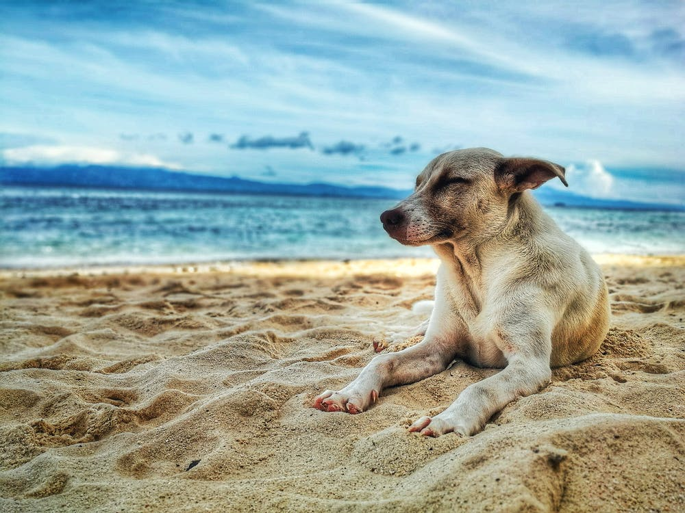 Dog Lying on Beach