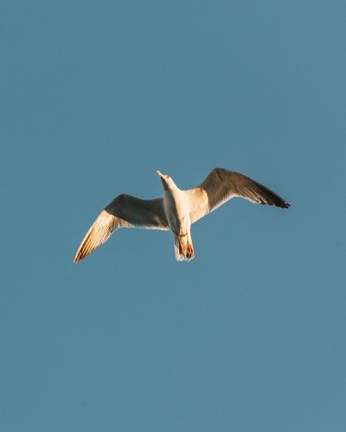 An Airborne Seagull