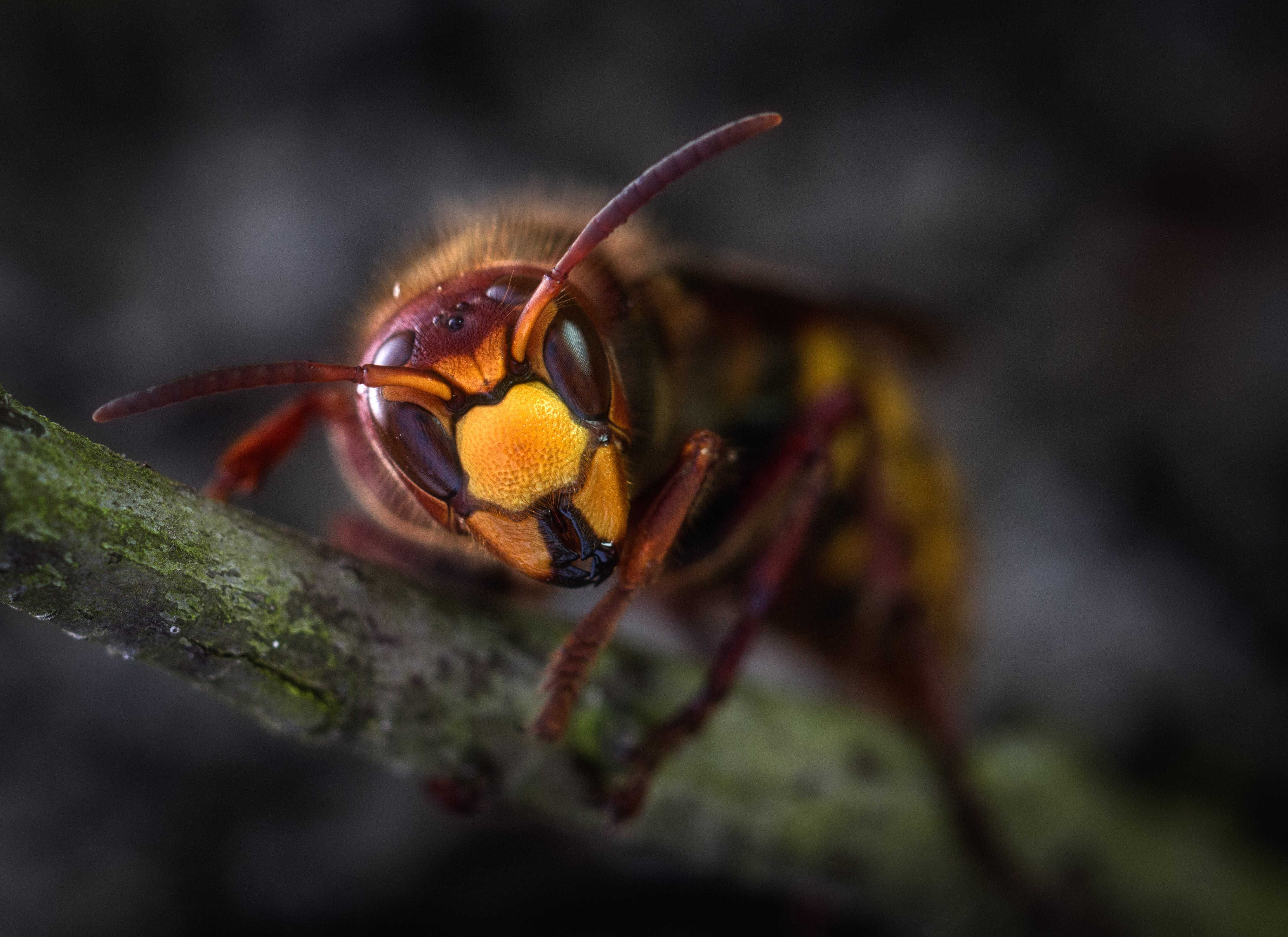 Yellow Jacket Wasp Macro Photography